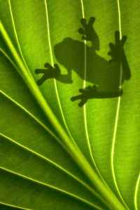 Frog Shadow